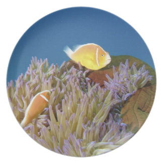Pink Anemonefish ( Amphiprion perideraion ) in Dinner Plate