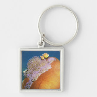 Pink Anemonefish Amphiprion perideraion ) in Keychain