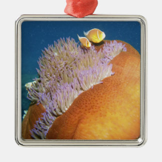 Pink Anemonefish Amphiprion perideraion ) in Metal Ornament