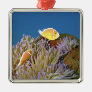 Pink Anemonefish ( Amphiprion perideraion ) in Metal Ornament