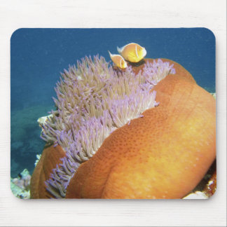 Pink Anemonefish Amphiprion perideraion ) in Mouse Pad