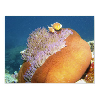 Pink Anemonefish Amphiprion perideraion ) in Art Photo