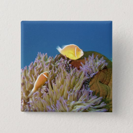 Pink Anemonefish ( Amphiprion perideraion ) in Pinback Button