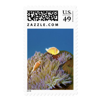 Pink Anemonefish ( Amphiprion perideraion ) in Postage Stamp