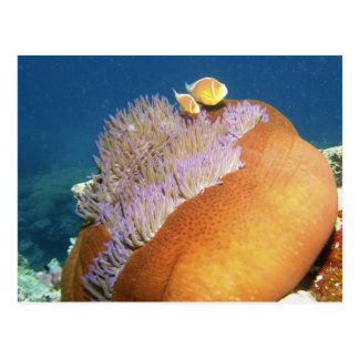 Pink Anemonefish Amphiprion perideraion ) in Postcard