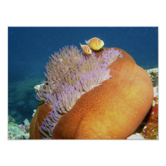 Pink Anemonefish Amphiprion perideraion ) in Poster