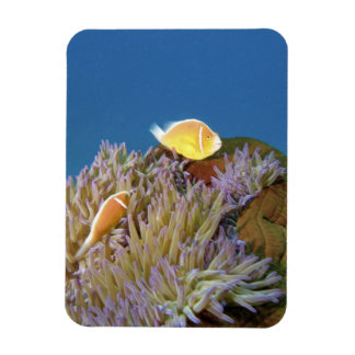 Pink Anemonefish ( Amphiprion perideraion ) in Rectangular Photo Magnet