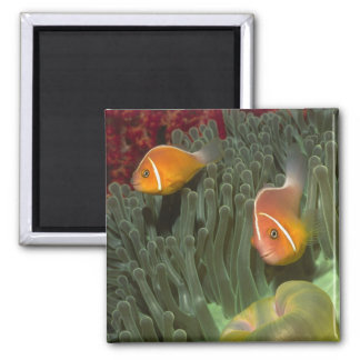 Pink Anemonefish in Magnificant Sea Anemone 2 Inch Square Magnet