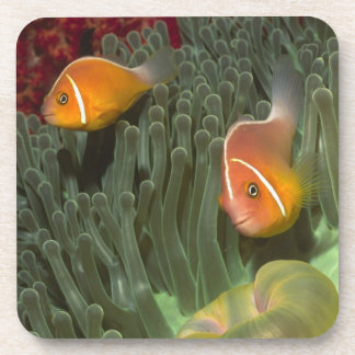 Pink Anemonefish in Magnificant Sea Anemone Beverage Coaster