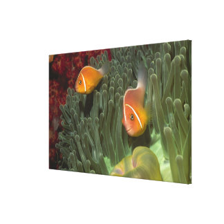 Pink Anemonefish in Magnificant Sea Anemone Canvas Print