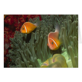 Pink Anemonefish in Magnificant Sea Anemone Card