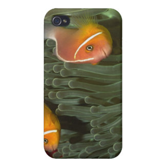 Pink Anemonefish in Magnificant Sea Anemone iPhone 4/4S Cases