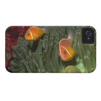 Pink Anemonefish in Magnificant Sea Anemone iPhone 4 Cover