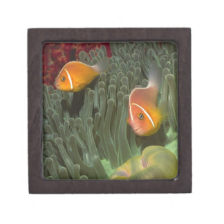 Pink Anemonefish in Magnificant Sea Anemone Jewelry Box