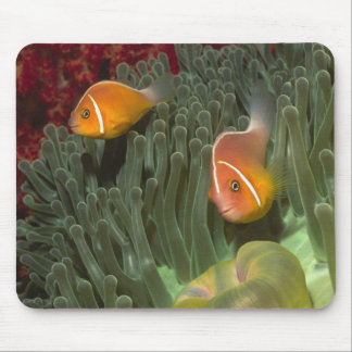 Pink Anemonefish in Magnificant Sea Anemone Mouse Pad