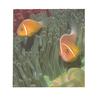 Pink Anemonefish in Magnificant Sea Anemone Notepad