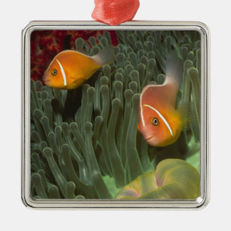Pink Anemonefish in Magnificant Sea Anemone Christmas Ornaments
