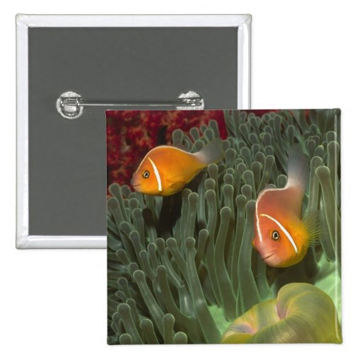 Pink Anemonefish in Magnificant Sea Anemone Pins