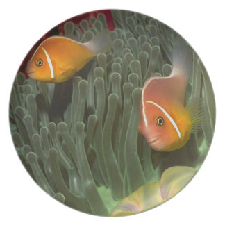 Pink Anemonefish in Magnificant Sea Anemone Plate