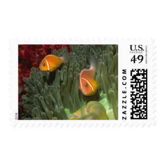 Pink Anemonefish in Magnificant Sea Anemone Postage Stamp