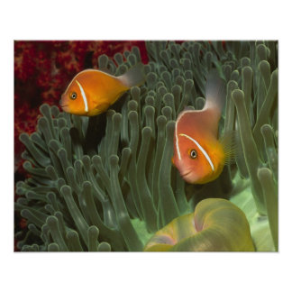 Pink Anemonefish in Magnificant Sea Anemone Poster