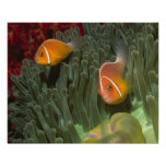 Pink Anemonefish in Magnificant Sea Anemone Print