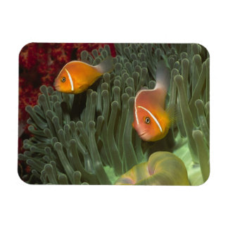 Pink Anemonefish in Magnificant Sea Anemone Rectangular Photo Magnet