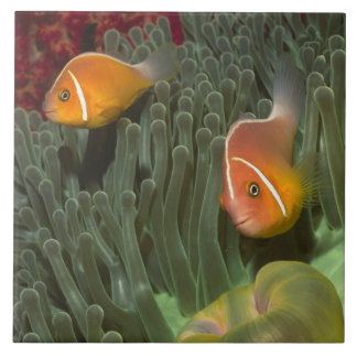 Pink Anemonefish in Magnificant Sea Anemone Tile