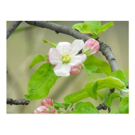 Pink Apple Blossom Post Cards