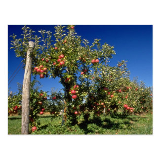 Pink Apple orchard flowers Postcards