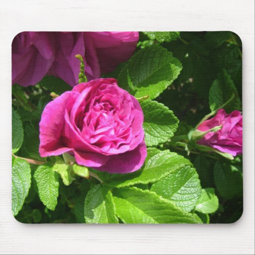 Pink aromatic rose flowers with green leaves mouse pads