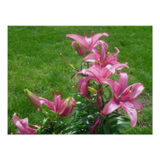 Pink Asiatic Lilies Poster