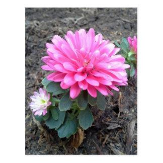 Pink Aster Flowers Postcard
