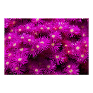 Pink Aster Flowers Poster