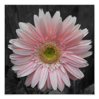 Pink Aster poster 12x12