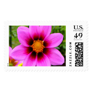 Pink Asteraceae Beauty L Postage