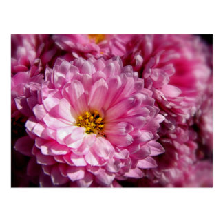 Pink Asters Postcard