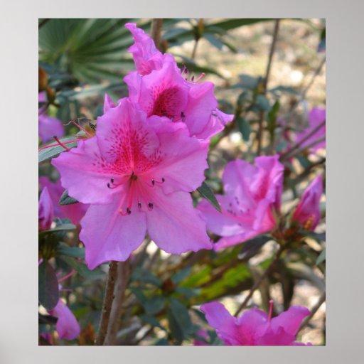 Pink Azaelas Poster