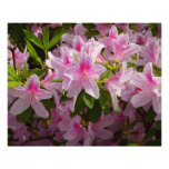 Pink Azalea Bush Spring Flowers Photo Print