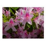 Pink Azalea Bush Spring Flowers Postcard