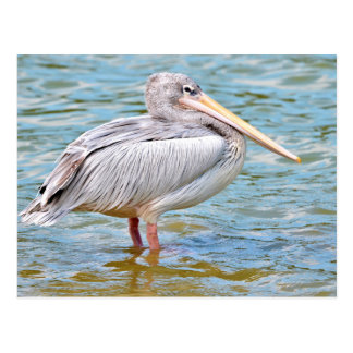 Pink-backed Pelicans Postcard