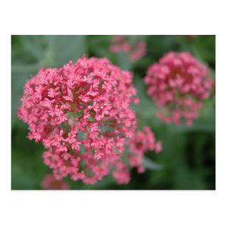 Pink Balls of Flowers Postcard
