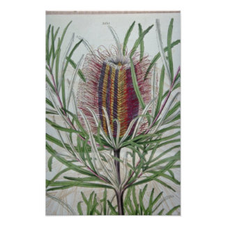 Pink Banksia occidentalis flowers Poster