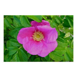Pink Beach Rose Poster