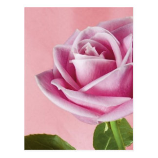 pink_beauty_(14) postcard