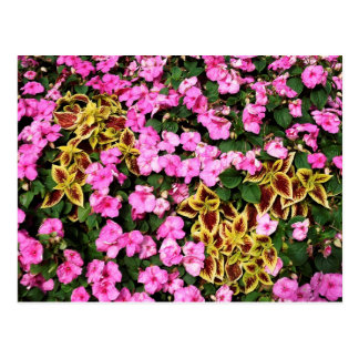 Pink begonias and coleus post card