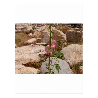 Pink Bindweed Postcard