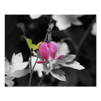 Pink Bleeding Heart Flower Black And White Poster