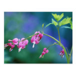 Pink bleeding hearts in garden. Credit as: Postcard