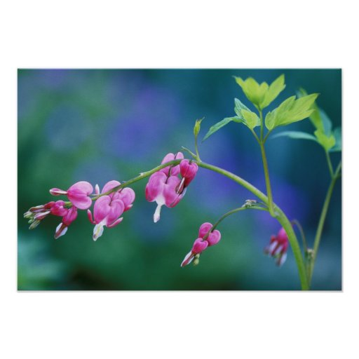 Pink bleeding hearts in garden. Credit as: Poster